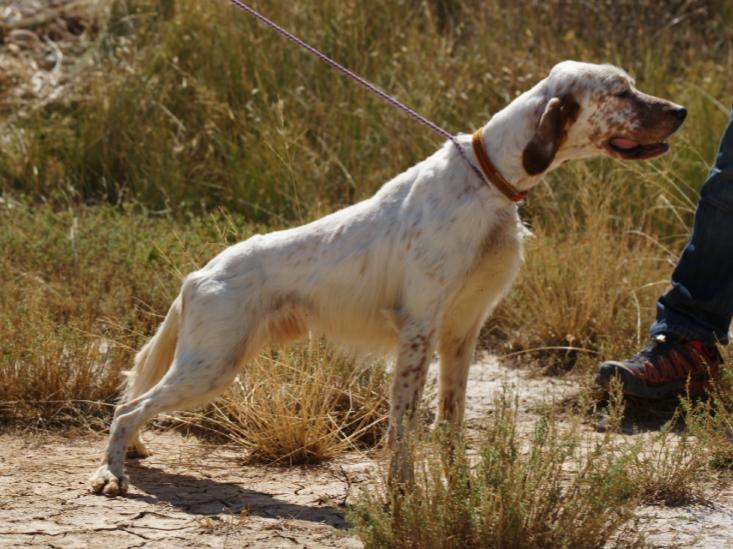 Adiestramiento de nuestros perros para la caza